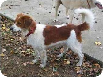 Springer Spaniel Mix Dog for adoption in Harrisonburg, Virginia - Daucie