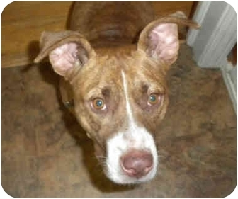 American Pit Bull Terrier Mix Dog for adoption in Detroit, Michigan - Sable