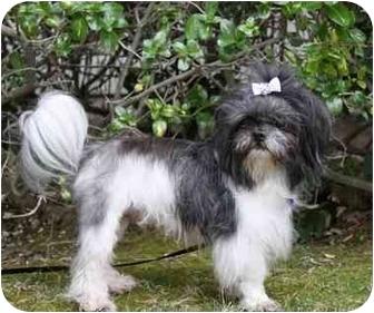Shih Tzu Mix Dog for adoption in Newport Beach, California - KING