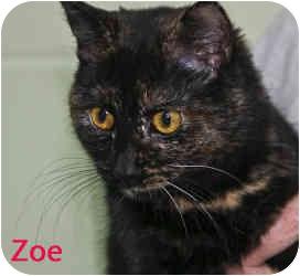 Domestic Shorthair Cat for adoption in Clarkesville, Georgia - Zoe