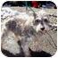 Photo 3 - Schnauzer (Miniature) Dog for adoption in Oak Ridge, New Jersey - Jane-Puppymill
