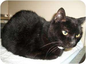 Domestic Shorthair Cat for adoption in Cedartown, Georgia - Cutie
