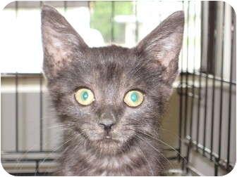 Domestic Shorthair Kitten for adoption in Pinehurst, North Carolina - Stewart