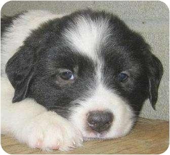Mastiff Mix Puppy for adoption in Preston, Connecticut - Kyle