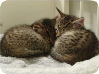American Shorthair Kitten for adoption in Simi Valley, California - Tabby kittens