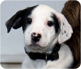 Border Collie Mix Puppy for adoption in Mt. Prospect, Illinois - Marisol