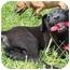 Photo 1 - Labrador Retriever/Boxer Mix Puppy for adoption in Foster, Rhode Island - Leapy