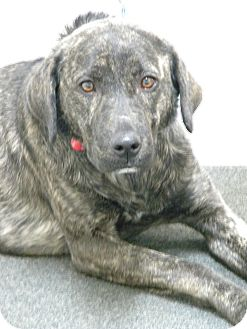 Plott Hound/Labrador Retriever Mix Dog for adoption in Lancaster, Virginia - Tigger