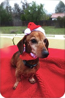 Dachshund Mix Dog for adoption in Irvine, California - Doc