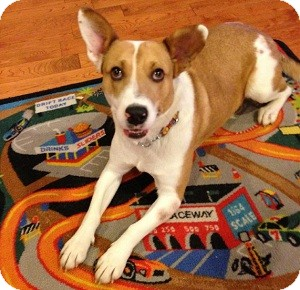 Corgi Mix Dog for adoption in North Wales, Pennsylvania - Yasha