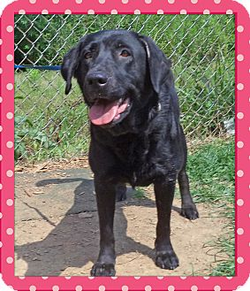 Labrador Retriever Mix Dog for adoption in Marietta, Georgia - ALEXIS (R)