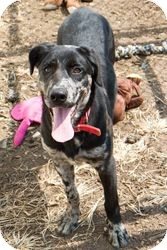 Labrador Retriever/Catahoula Leopard Dog Mix Puppy for adoption in Baltimore, Maryland - Solo