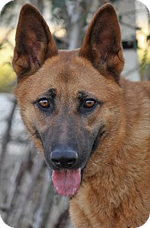 German Shepherd Dog Mix Puppy for adoption in Los Angeles, California - Dinuba von Dorfen