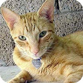 Domestic Shorthair Cat for adoption in Phoenix, Arizona - Simon