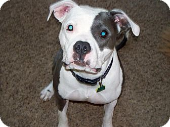 American Staffordshire Terrier/American Pit Bull Terrier Mix Dog for adoption in Columbus, Ohio - Wednesday