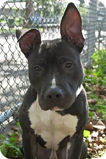 Pit Bull Terrier Mix Dog for adoption in Union Beach, New Jersey - Sebastian