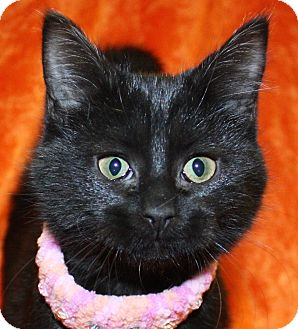 Domestic Shorthair Kitten for adoption in Jackson, Michigan - Wionna