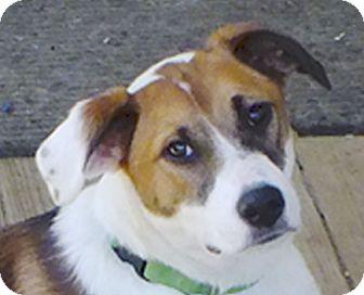 Labrador Retriever/Terrier (Unknown Type, Medium) Mix Dog for adoption in Preston, Connecticut - Maggie#3