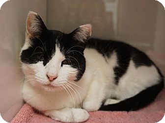 Domestic Shorthair Cat for adoption in Farmington, New Mexico - Scout