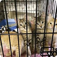 Adopt A Pet :: Gus - Byron Center, MI