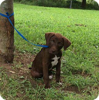 Hound (Unknown Type) Mix Puppy for adoption in Atchison, Kansas - Charlie
