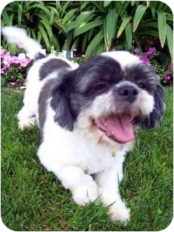 Lhasa Apso Mix Dog for adoption in Los Angeles, California - FUJI