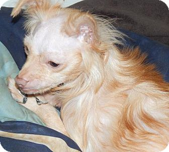 Chinese Crested/Chihuahua Mix Dog for adoption in Anderson, South Carolina - PHIL McGRAW