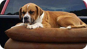Boxer Mix Dog for adoption in Coeburn, Virginia - Bo