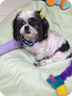 Shih Tzu Dog for adoption in levittown, New York - MOLLY