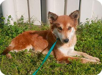 Shiba Inu/Sheltie, Shetland Sheepdog Mix Dog for adoption in Mount Pleasant, South Carolina - Inari