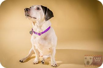 Jack Russell Terrier/Beagle Mix Dog for adoption in Livonia, Michigan - Jaylo - ADOPTION PENDING