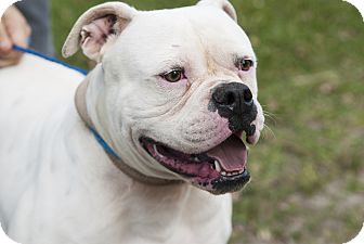 American Bulldog Dog for adoption in Homestead, Florida - April