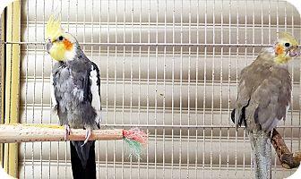 Cockatiel for adoption in Grandview, Missouri - Bosco and Teeter