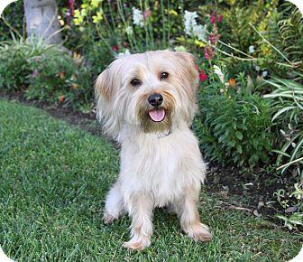 Yorkie, Yorkshire Terrier/Maltese Mix Dog for adoption in Newport Beach, California - TAVISH