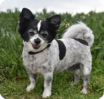 Papillon/Chihuahua Mix Dog for adoption in Los Angeles, California - Pixie