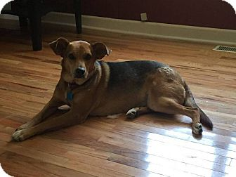 Shepherd (Unknown Type)/Hound (Unknown Type) Mix Dog for adoption in Salem, New Hampshire - Nevaeh