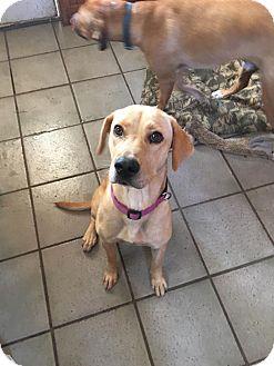 Labrador Retriever Dog for adoption in Mary Esther, Florida - Mango