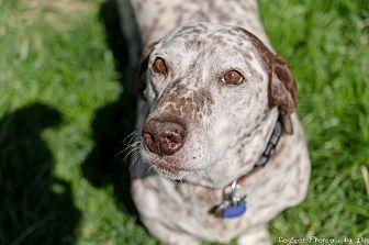 Basset Hound/Australian Cattle Dog Mix Dog for adoption in Salt Lake City, Utah - Chip