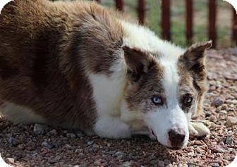 Australian Shepherd/Husky Mix Dog for adoption in Ridgway, Colorado - Courage