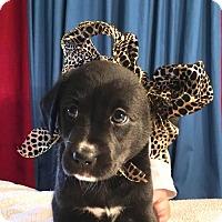 Adopt A Pet :: Jade - Dallas, TX