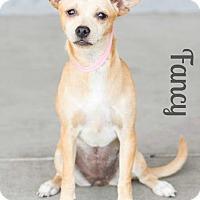 Adopt A Pet :: FANCY - Modesto, CA