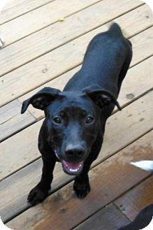 Labrador Retriever Mix Puppy for adoption in Canton, Georgia - STEVE