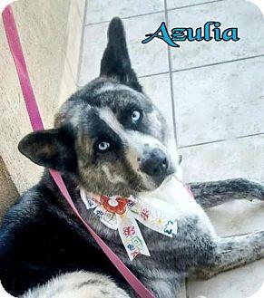 Husky/Akita Mix Dog for adoption in Porter Ranch, California - BlueEyes