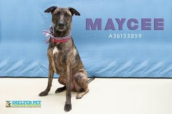 Shepherd (Unknown Type) Mix Dog for adoption in San Angelo, Texas - Maycee Kennel 118 8-11-2017