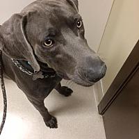 Adopt A Pet :: Roux - Birmingham, AL