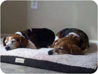 Beagle Dog for adoption in Indianapolis, Indiana - Emily & Molly