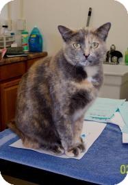 American Shorthair Cat for adoption in Cedar Bluff, Alabama - Jessie