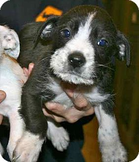 Terrier (Unknown Type, Small) Mix Puppy for adoption in Gainesville, Florida - Spring