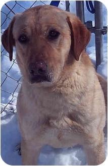 Labrador Retriever Mix Dog for adoption in Owatonna, Minnesota - Eddie