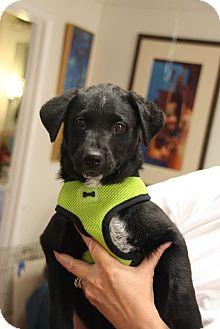 Labrador Retriever/Newfoundland Mix Puppy for adoption in Marietta, Georgia - Baloo